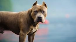 Как выглядит самая опасная собака в мире Питбуль
